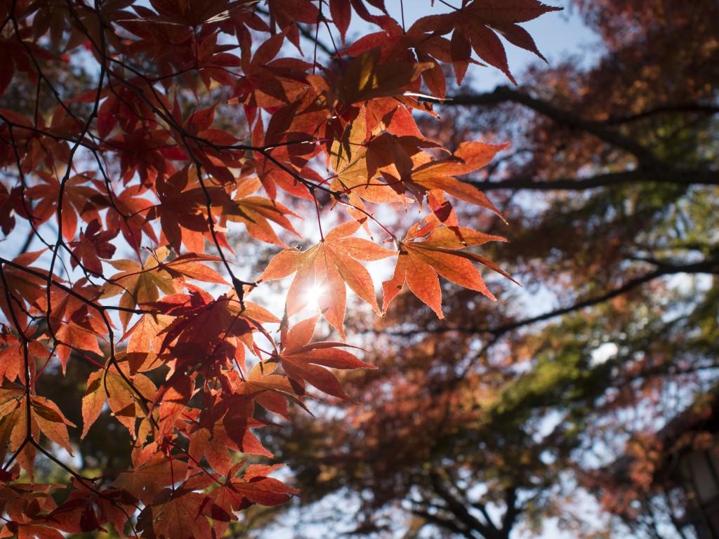 紅葉を日に透かして