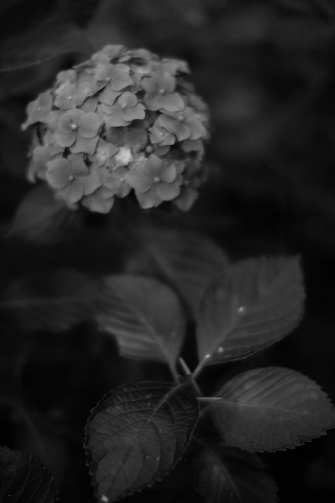 紫陽花。25mm (≓50mm) f/0.95 1/2000s ISO200, E-M1, Nokton 25mm.