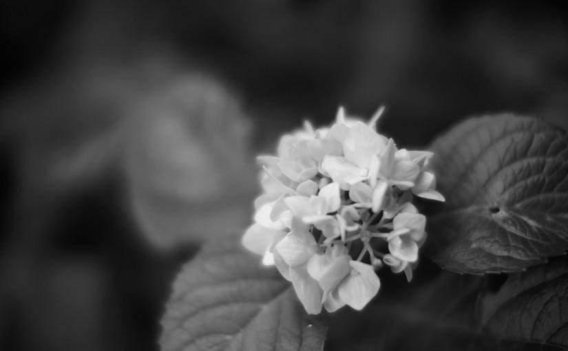横浜三溪園と紫陽花